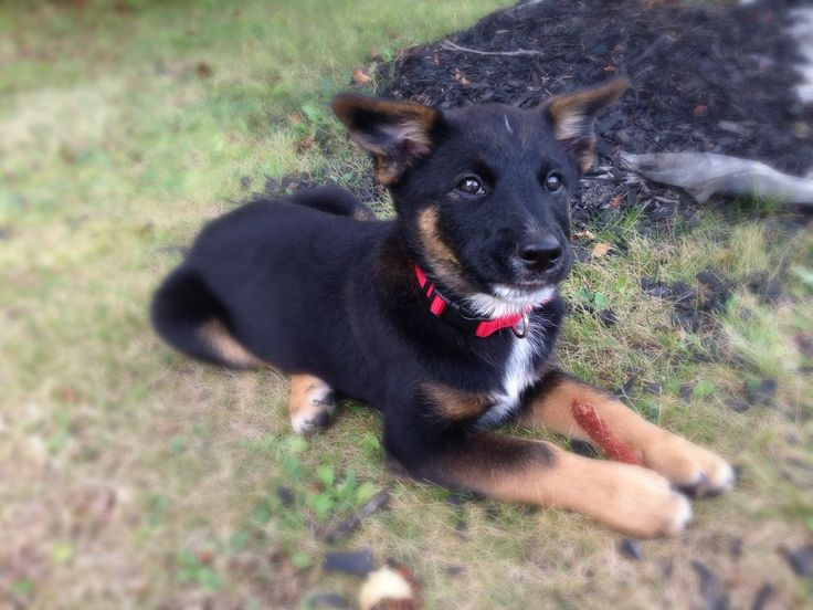 german shepherd norwegian elkhound mix more elkhound mixes shepherd ...