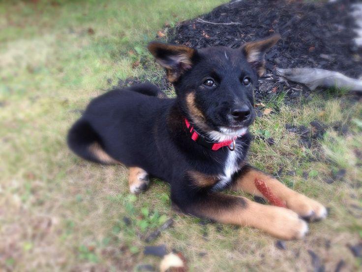 Norwegian Elkhound Mix Puppies Images & Pictures - Becuo