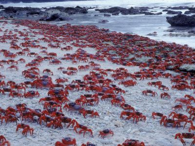 Christmas Island- during their crab spawning season.  Thousands upon thousands of crabs!