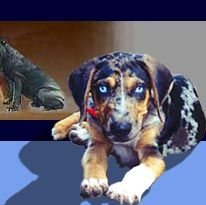 double glass eyed Catahoula Cur ...had two Curs, after I married...one double glass eyed & one with single glass eye...Hoss and Joe...2/3 of the Cartwright crew!