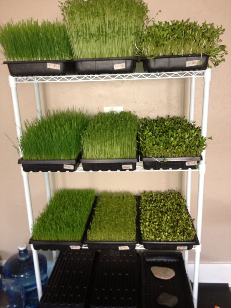 25 best ideas about growing sprouts on pinterest how to for Best growing medium for microgreens
