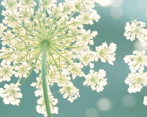 Beautiful Queen Anne's Lace fills the summer meadow - photography by cottagelightstudio