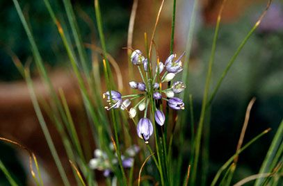 Allium cyaneum | Height: 0.25m | Spread: 0.1m