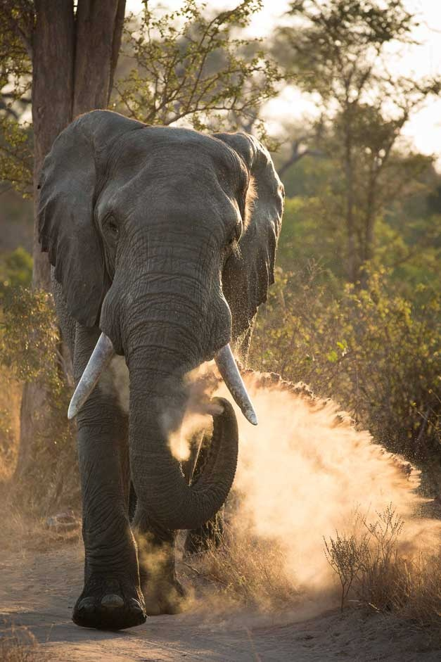 NUMBER 2: This magnificent elephant was captured by Don Ashabranner in July 2012 with Robin Hester as ranger.