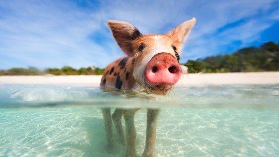 schwimmende schweine bahamas