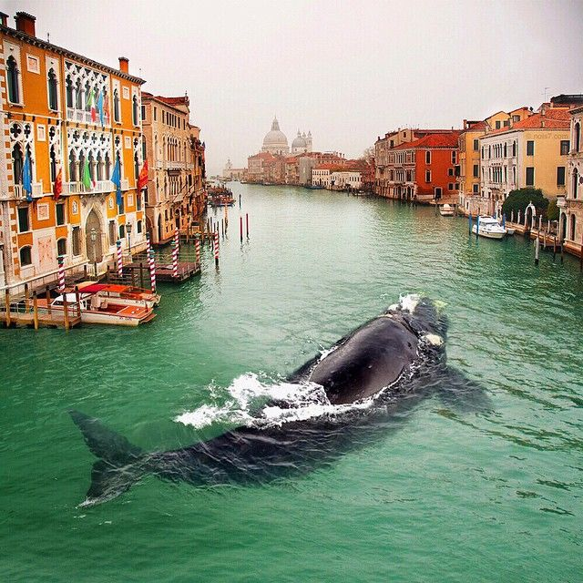Кит в Венеции: заплыл или нет?