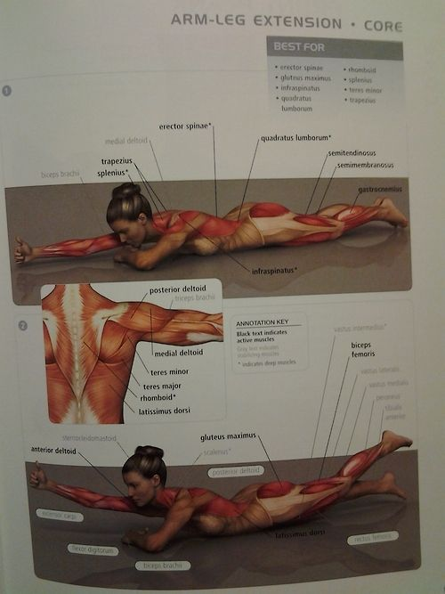 muscle diagram - CORE: arm-leg extension (back muscles & gluteus maximus)