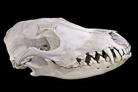 Vulpes vulpes - Wikimedia Commons
