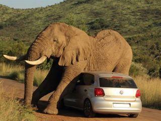 Слон получает резвый с VW Polo