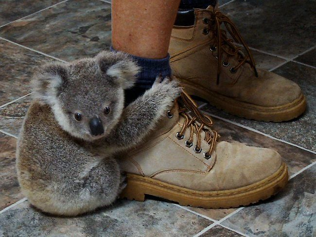 A baby koala hangs on to a worker's foot at the Koala Hospital at Port Macquarie in northern New South Wales, Australia.