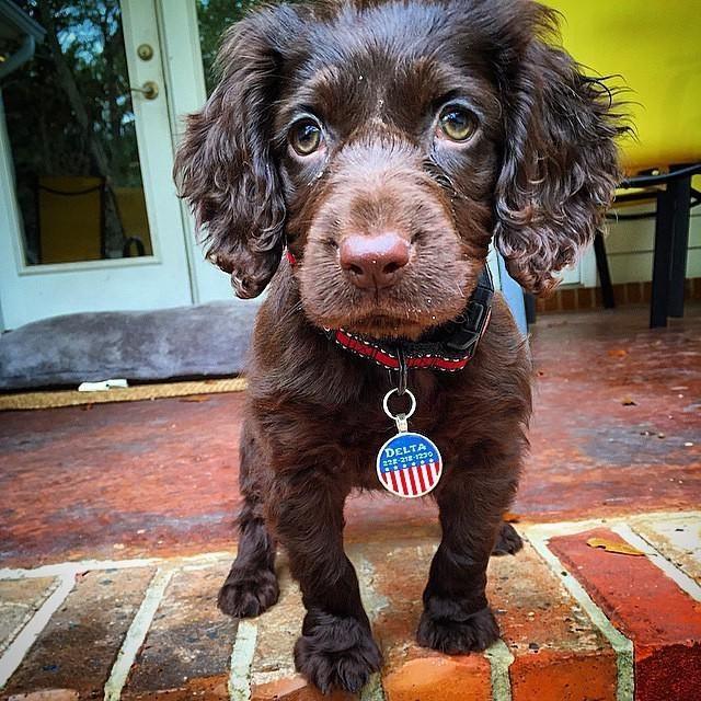 Delta, Boykin Spaniel pup