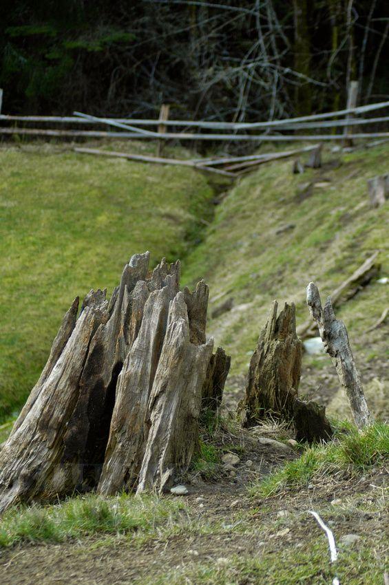 Jagged tree stump