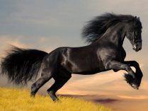 Crin de un caballo árabe negro