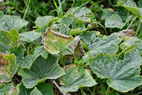 У рассады огурцов сохнут листья. Почему это может быть? - ответы ... | 399x600