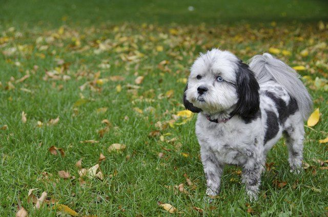 Grooming Ideas For A Shih Poo Shih Poo Dog Personality Poodle Dog