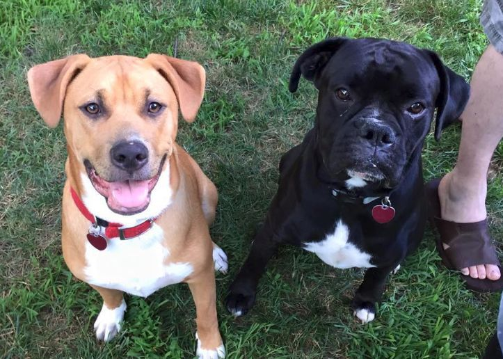 The Boxer lab mix or Boxador is a beautiful dog full of energy and ready to play. This breed will keep you on your toes, possibly a little too much if you'