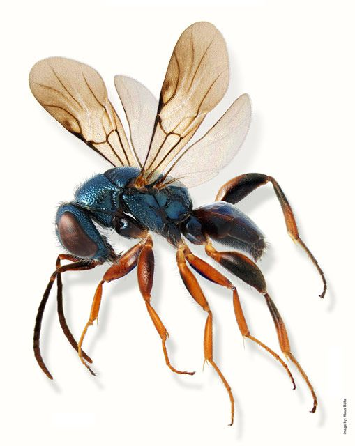 Amisega floridensis (parasitic wasp) | Klaus Bolte | Nikon Small World