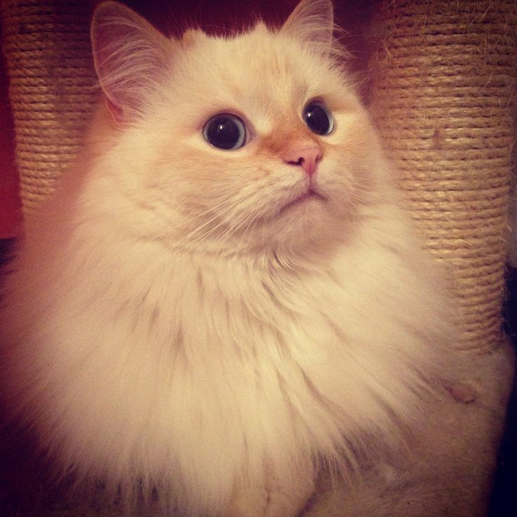 #dior the #siberian #cat #siberiancat #mylove