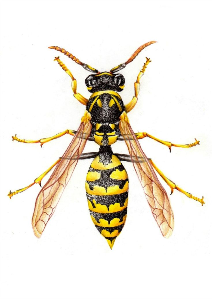 Vespula germanica - Williams Jose Toledo Sosa