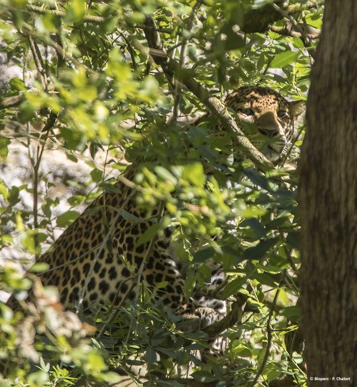 La rarissime panthère de Java est venue remplacer la panthère des neiges dans le Canyon des léopards. Timang, notre mâle, se fait encore un peu timide.