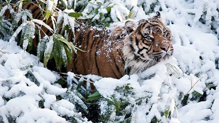 Sneeuw tijger.