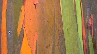 Rainbow Tree seed germination How to germinate rainbow eucalyptus deglupta mindanao gum tree - YouTube