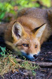Wildlife Photography: Fox taking rest.