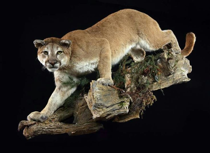 Ideas for my mountain lion