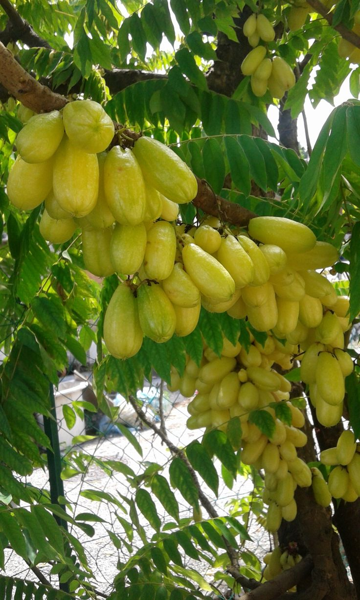 Averrhoa bilimbi, Cucumber tree, Tree Sorrel or Belimbing buluh oh i love this :D u can cook this, make syrup out of it and the fruits, can be dried for a healthy snacks. mom used to make this :D