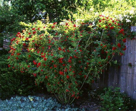 """heart shaped rose bush created by """"Pegging""""......I can hardly to do this to my roses!!!"""