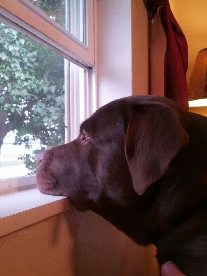 Chocolate Labrador Waiting patiently for the family to come home