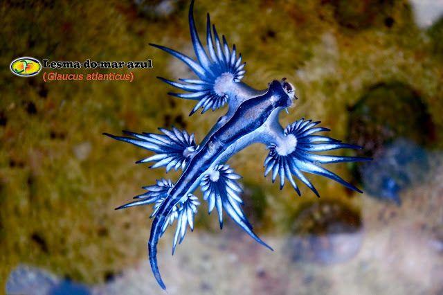 Lesma do mar azul