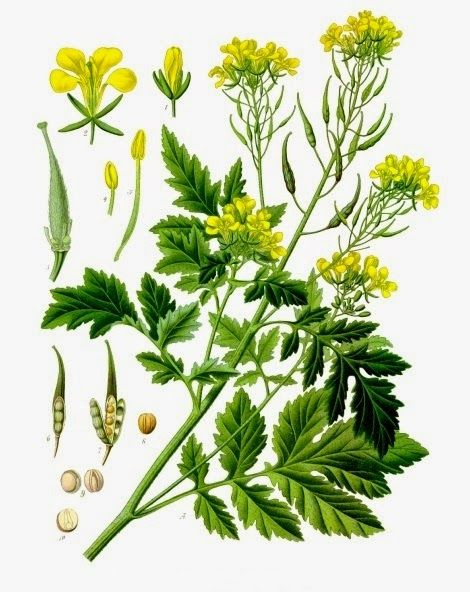 White Mustard Plant - Sinapis Alba - What is Mustard Good For?