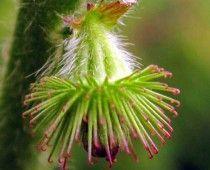 Αγριμόνια – Agrimonia eupatoria