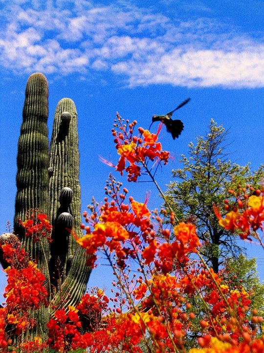 These are a few of my favorite things: Mexican bird of paradise, hummingbirds, sahuaro cacti.I'm not sure if the tree/shrub is creosote(best smell in the world) or mesquite.  Sonora Desert, Arizona, USA