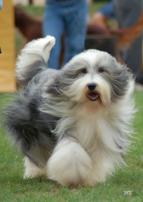 bearded collies  | Bearded Collie | Lilo Pet  They look so graceful when they run and their coat blows in the wind