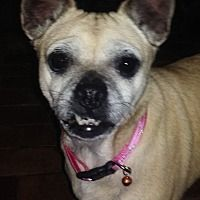 Pictures of Goldie: smiles! (PA) a Chihuahua/Pug Mix for adoption in Spring City, TN who needs a loving home.
