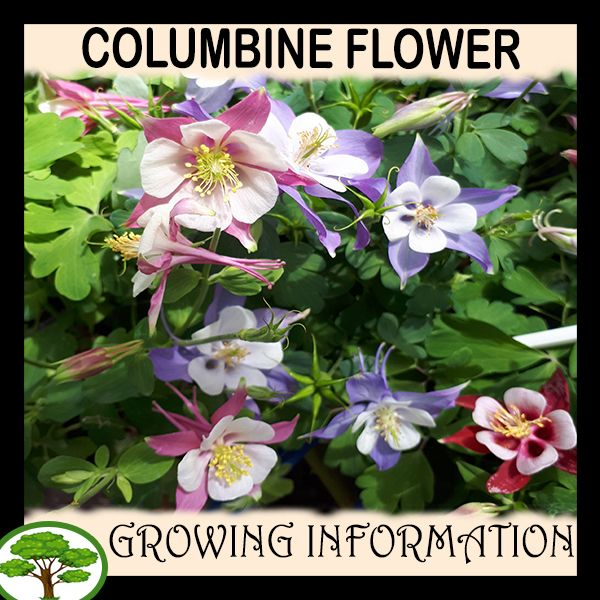Pin On Columbine Flower