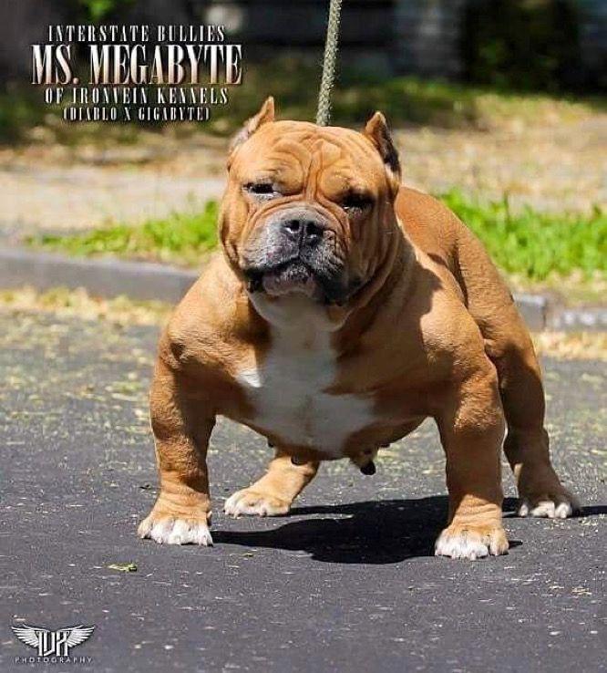 ꮲɪɴᴛᴇʀᴇsᴛ Sɴᴇᴀᴋᴇʀ ʙᴀᴇ ꭺᴍᴇʀic ᴀɴ ᏼᴜʟʟʏ ꮮᴏᴠᴇ American Bully Bully Dog Northern Inuit Dog