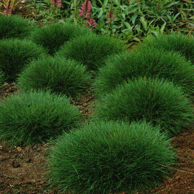 ogród trawy ozdobne niedźwiedzie futro- kostrzewa gautiera