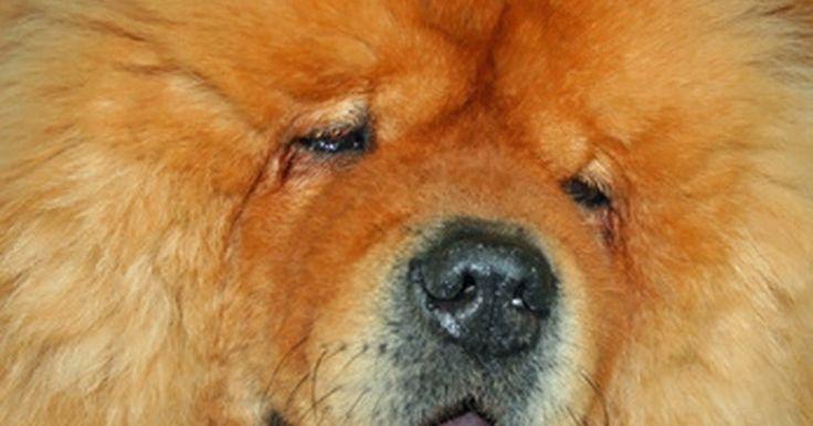 Cão Chow Chow e a Displasia da anca. Os cães Chow Chow são resistentes e têm origem na China. Eles têm pelos longos e macios e rostos pequenos que lhes dão a aparência silvestre de um leão. Os Chow Chow foram recentemente criados em um tamanho maior, e como tal, estão propensos a problemas na anca.