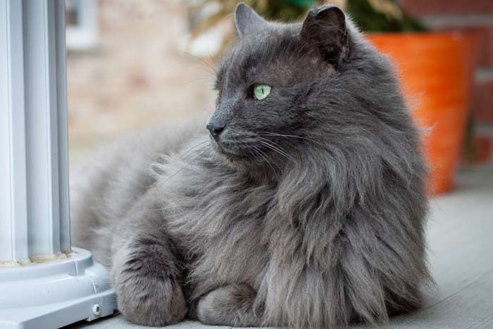 Resultado de imagen de gatos pelo largo