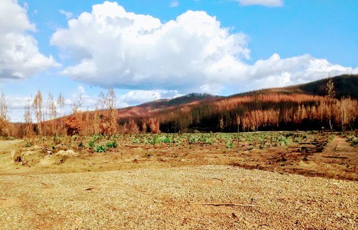 Incendios forestales en Carrizal, Putu, Region del Maule.