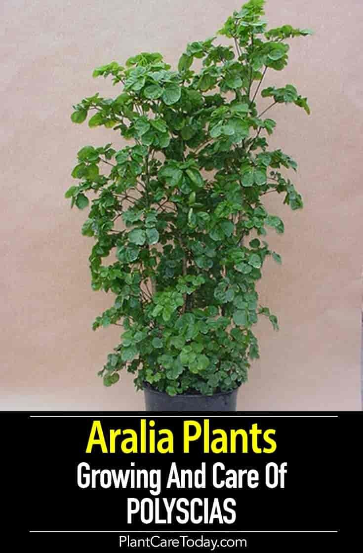 Aralia Plant Care Learn Tips On Growing Polyscias Plants Guide