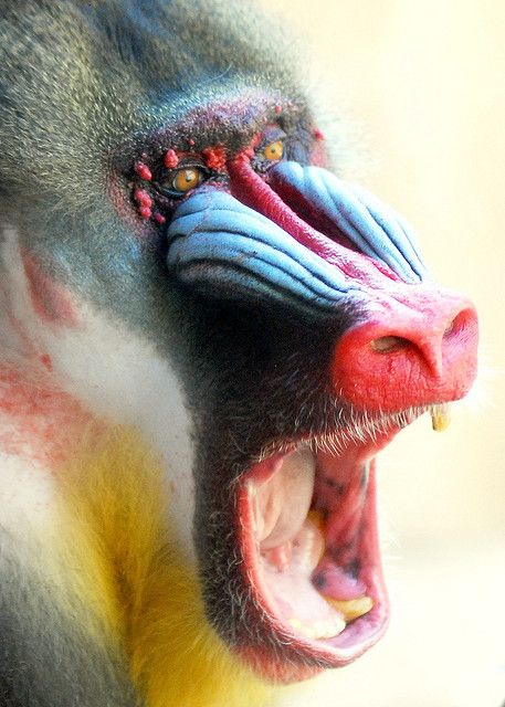Mandrill (Mandrillus Sphinx), the world's largest monkeys, found in Cameroon, Gabon, Congo and Equatorial Guinea,  by floridapfe