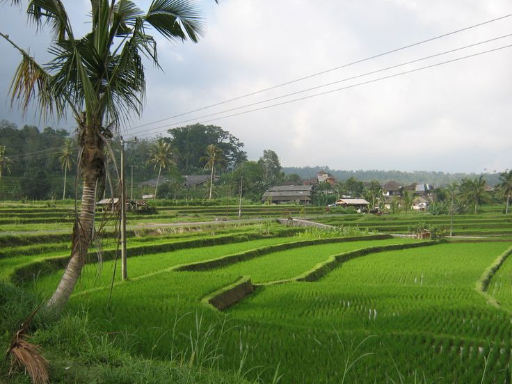 Bali rice paddies galore