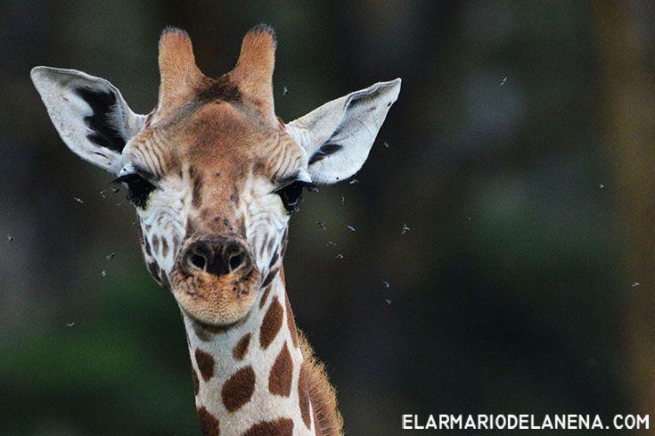 Little giraffe (Kenya)