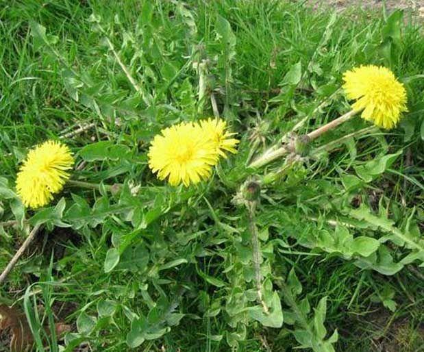 Karahindiba BitkisiÇayırlarda yetişen, sarıçiçekli bir bitkidir. Acıgünek, güneyik, arslandişi ve radika olarak da bilinir. Başta potasyum olmak üzere kalsiyum ve diğer mineraller açısından zengin bir besin olan karahindiba A ve C vitamini de içerir. Ayrıca, torexacin, levulin, inulin gibi bileşikler içerir. Yazının Devamı: Karahindiba Bitkisi   Bitkiblog.com Follow us: @BİTKİ BLOG on Twitter   Bitkiblog on Facebook