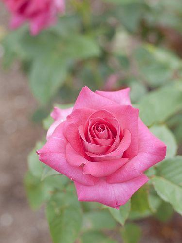 Hybrid Tea Rose: Rosa 'Ange Rosé' (Japan, 2005)