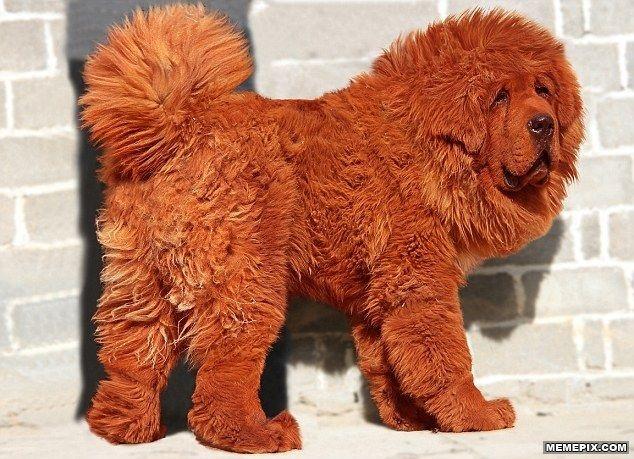 A Tibetan Mastiff. Cost: 1.5 million - MemePix